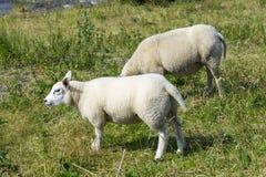 Pecore ad una diga, Paesi Bassi Immagine Stock Libera da Diritti
