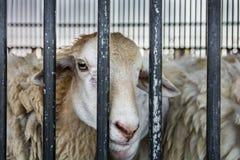 Pecore affamate dietro la gabbia in allevamento di pecore Immagine Stock Libera da Diritti
