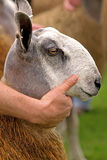 Pecore affrontate blu di Leicester Immagine Stock