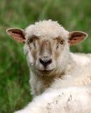 Pecore al prato Immagine Stock Libera da Diritti