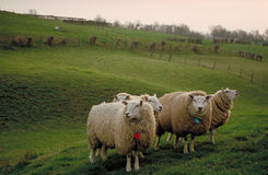 Pecore al tramonto Immagini Stock