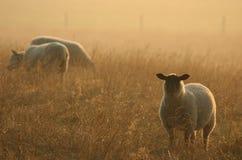 Pecore all'alba immagini stock libere da diritti