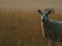 Pecore all'alba immagini stock
