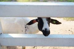 Pecore all'allevamento di pecore di Pattaya Immagini Stock Libere da Diritti