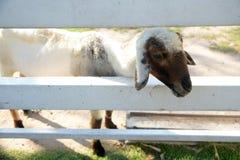 Pecore all'allevamento di pecore Tailandia di Pattaya Fotografia Stock