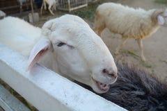 Pecore all'allevamento di pecore Tailandia di Pattaya Immagini Stock