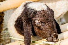 Pecore all'azienda agricola di agricoltura nella luce del giorno Fotografie Stock Libere da Diritti