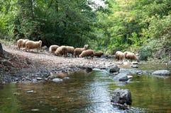 Pecore all'innaffiatura Fotografia Stock