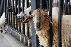 Pecore alla cellula Fotografia Stock