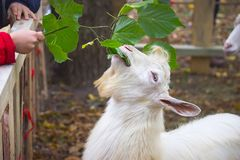 Pecore alla conclusione dell'autunno Immagini Stock