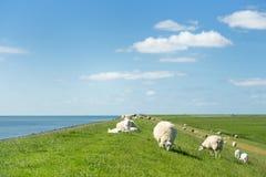 Pecore alla diga olandese Fotografie Stock Libere da Diritti