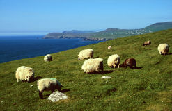 Pecore alla linea costiera Fotografia Stock
