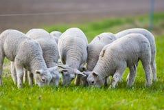 Pecore alla luce di primo mattino Immagini Stock Libere da Diritti