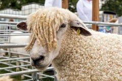 Pecore alla manifestazione estesa a tutto il paese di Hanbury, Inghilterra di Cotswold Fotografia Stock Libera da Diritti