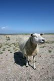 Pecore alla spiaggia Fotografie Stock Libere da Diritti