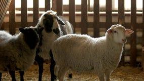 Pecore alla stalla dell'allevamento archivi video