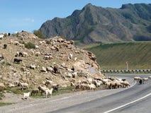 Pecore alle montagne di Altai Immagini Stock
