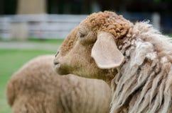 Pecore in allevamento di pecore Fotografia Stock