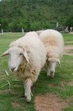 Pecore in allevamento di pecore Fotografia Stock Libera da Diritti