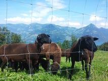 Pecore in alpi svizzere Fotografie Stock