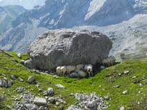 Pecore alpine Immagine Stock