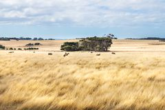Pecore in alta erba gialla strutturata in un campo su Phillip Island, Victoria, Australia Fotografie Stock