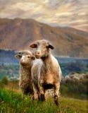 Pecore angeliche Immagine Stock