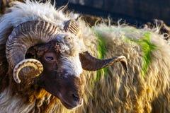 Pecore animali Fotografia Stock Libera da Diritti