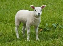 Pecore appena nate dell'agnello della sorgente immagini stock