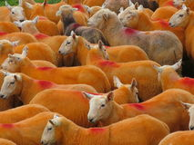 Pecore arancioni Fotografie Stock Libere da Diritti