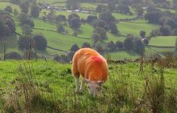 Pecore arancioni Fotografia Stock Libera da Diritti