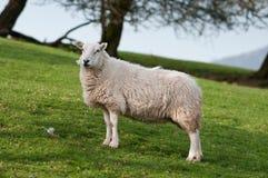 Pecore (aries del Ovis) sul pendio di collina di Lingua gallese Fotografia Stock Libera da Diritti