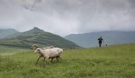 Pecore in Armenia rurale Immagini Stock Libere da Diritti