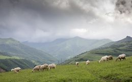 Pecore in Armenia rurale Fotografia Stock Libera da Diritti