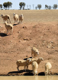 Pecore in Australia Fotografia Stock