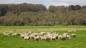 Pecore australiane Immagini Stock