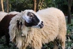 Pecore in azienda agricola Immagini Stock