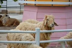 Pecore in azienda agricola Immagini Stock Libere da Diritti