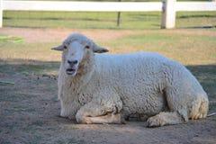 Pecore in azienda agricola Immagine Stock Libera da Diritti