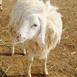 Pecore in azienda agricola, lato del paese Immagine Stock Libera da Diritti