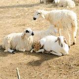 Pecore in azienda agricola, lato del paese Immagini Stock