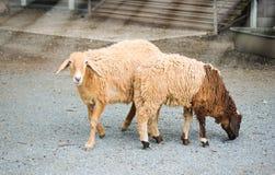 Pecore in azienda agricola Pecore per il taglio dei capelli per il indust del tessuto fotografia stock