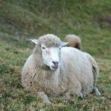 Pecore bianche Immagine Stock
