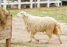 Pecore bianche Fotografie Stock Libere da Diritti