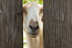 Pecore bianche Immagine Stock Libera da Diritti