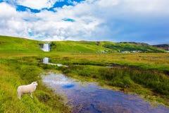 Pecore bianche Fotografia Stock Libera da Diritti