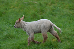 Pecore bianche adorabili che camminano in un campo Immagine Stock Libera da Diritti