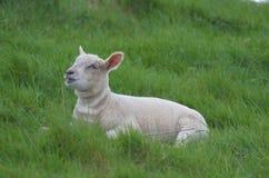 Pecore bianche adorabili che riposano in un campo Immagini Stock Libere da Diritti