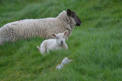 Pecore bianche adorabili del bambino in un campo Fotografia Stock