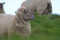 Pecore bianche adorabili Lokking fuori nella distanza Immagini Stock Libere da Diritti